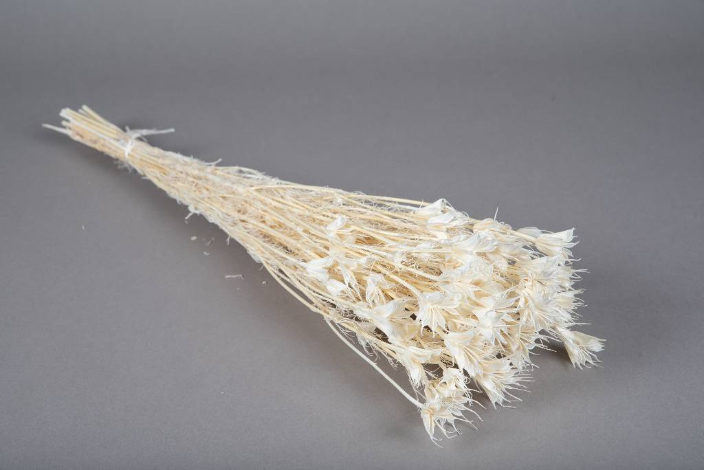 x106gs Nigelle orientalis blanchi H60cm