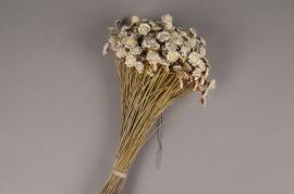 x115ab White natural dried daisy H45cm