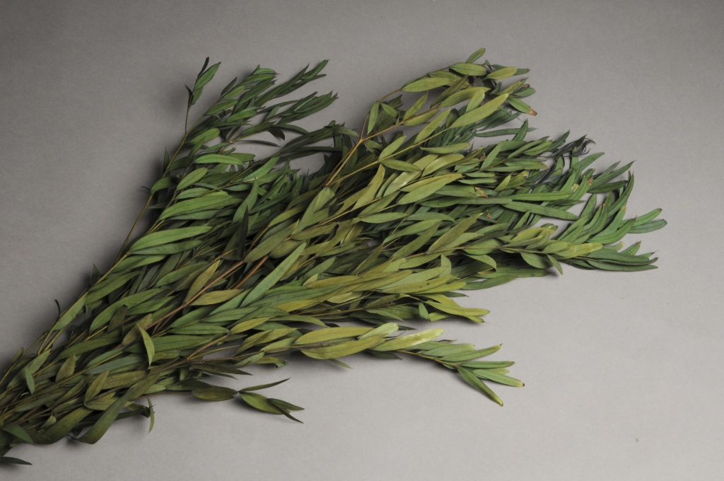 x167ab Green preserved eucalyptus parfivolia H60cm