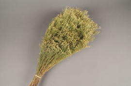 x201ab Green dried natural Broom bloom H60cm