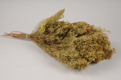x201ab Broom bloom séché naturel vert H60cm