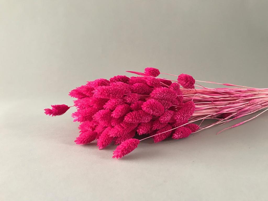 x204ab Fuchsia dried phalaris H60cm