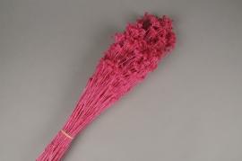 x207ab Achillea Silvestre séchée rose fuchsia H50cm