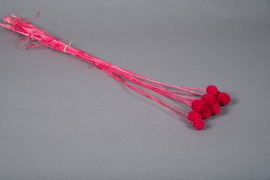 x255ab Craspedia séché rose fuchsia H60cm