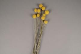 x256ab Craspedia séché naturel jaune H55cm