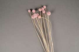 x257ab Craspedia séché rose pâle H55cm