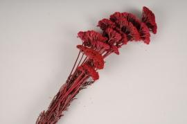 x287ab Achillea filipendulina séché bordeaux H70cm