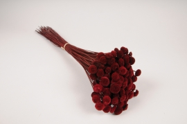 x292ab Botte de botao rouge bordeaux séché H53cm