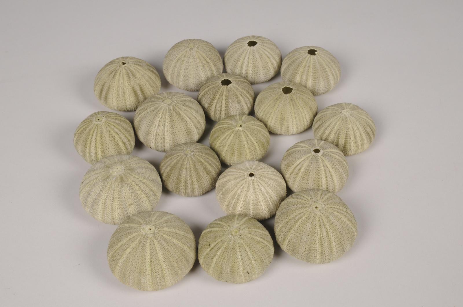 x310wg Coquillages oursins de mer verts D5cm