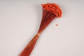 x333ab Botte de glixia séché rouge H40cm