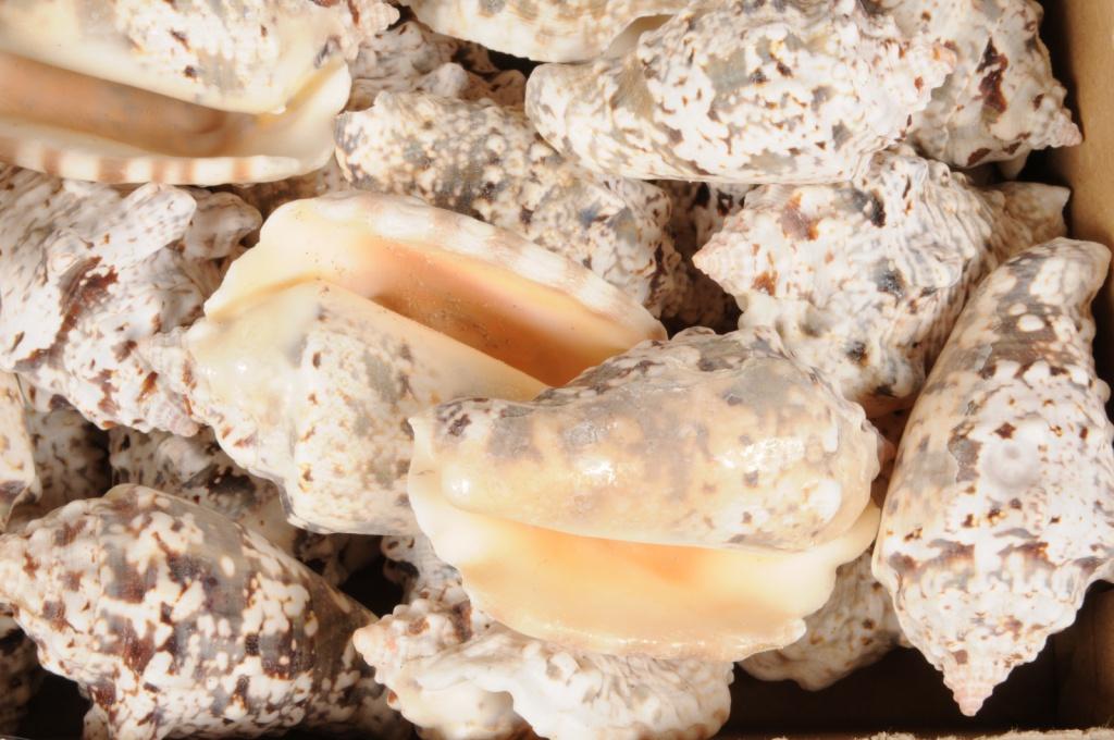x369wg Paquet de strombus lentiginosus naturel