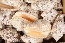 x369wg Pack of natural strombus lentiginosus