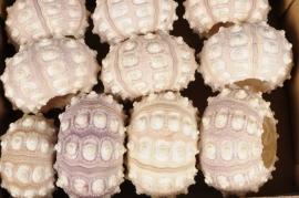 x370wg Paquet de 10 oursins naturel