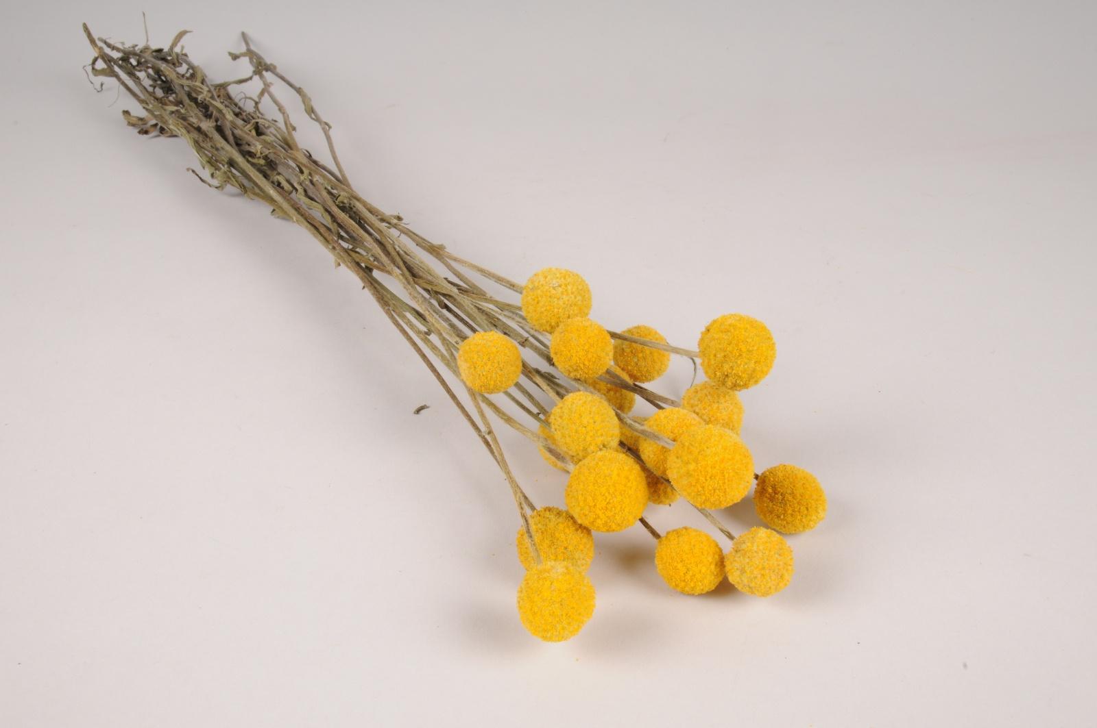 x379ab Craspedia séché jaune H50cm